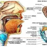I13-17-larynx